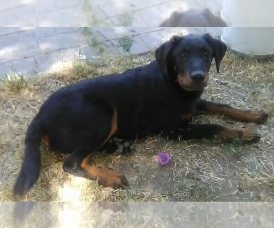 Beauceron PUPPY FOR SALE ADN-130632 - Purebred Beauceron Puppy