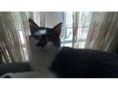 Adopt Pirate a Black & White or Tuxedo Domestic Shorthair cat in Gordonville