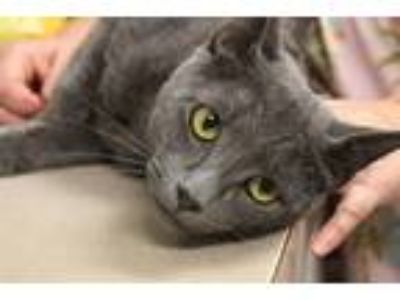 Adopt Jude a Domestic Shorthair / Mixed cat in Salisbury, MD (25849806)
