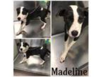 Adopt MADELINE a Black - with White American Pit Bull Terrier / Mixed dog in