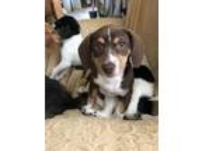 Adopt Phoebe a Brown/Chocolate Dachshund / Mixed dog in Bloomingdale
