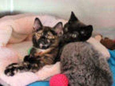 Adopt ANNABELLE a Tortoiseshell Domestic Shorthair / Mixed (short coat) cat in