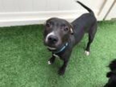 Adopt Huey a Black - with White American Pit Bull Terrier / Labrador Retriever /