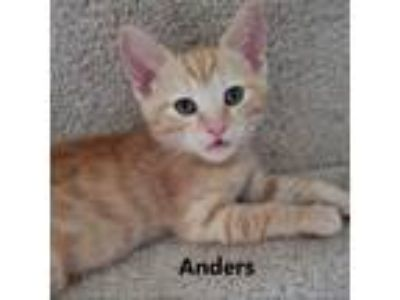 Adopt Anders a Orange or Red Domestic Shorthair / Domestic Shorthair / Mixed cat
