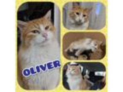Adopt Oliver a Domestic Long Hair