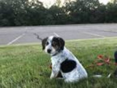 Adopt MICKEY a Australian Cattle Dog / Blue Heeler, Beagle