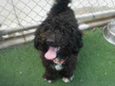 Adopt BUDDY a Black - with White Poodle (Miniature) / Mixed dog in San Luis