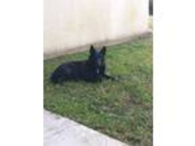 Adopt Angus a Black Border Collie / Australian Cattle Dog / Mixed dog in