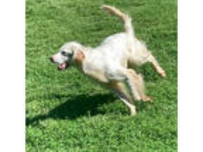Adopt Reeves a English Setter
