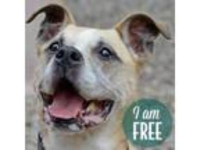 Adopt Dusty a Boxer, Pit Bull Terrier