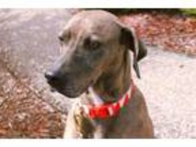 Adopt Daisy Mae a Brown/Chocolate Catahoula Leopard Dog / Mixed dog in Winfield