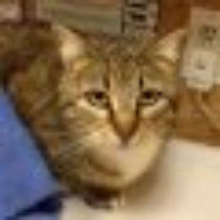 Tara Tabby Cat