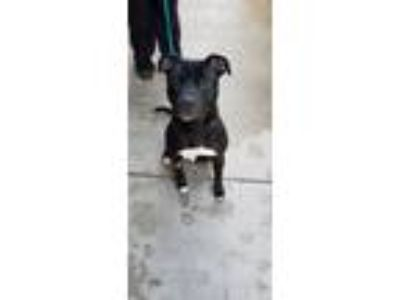 Adopt Leo a Black - with White Pit Bull Terrier / Mixed dog in University Park