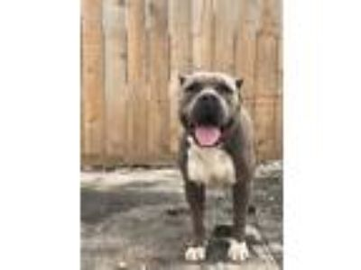 Adopt Buster a American Staffordshire Terrier