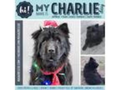 Adopt Charlie Day a Black Chow Chow / Shar Pei / Mixed dog in New Port Richey