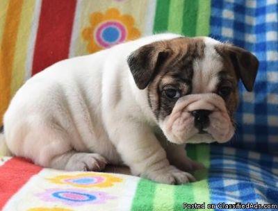 Lucky Cute M/F English Bulldog Puppies