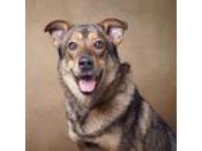 Adopt Massey a Tan/Yellow/Fawn - with Black Shepherd (Unknown Type) / Mixed dog