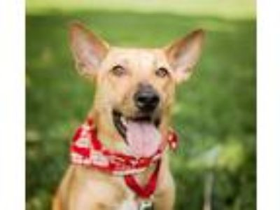 Adopt Amia a Tan/Yellow/Fawn - with White Labrador Retriever / Shepherd (Unknown