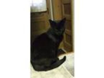 Adopt Sissy a Black (Mostly) Domestic Shorthair (short coat) cat in Frankfort