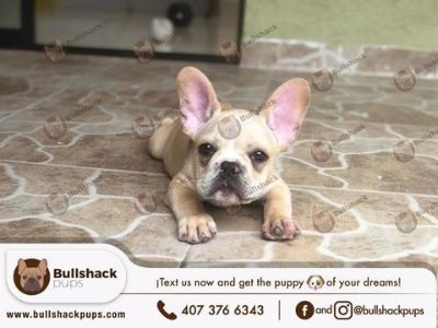 Bulldog PUPPY FOR SALE ADN-104797 - French Bulldog