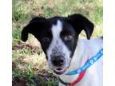 Adopt Harris - Local Nov 3 a Border Collie, Labrador Retriever
