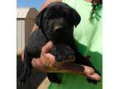 Adopt HANK'S PUPS D a Black Shepherd (Unknown Type) / Labrador Retriever / Mixed
