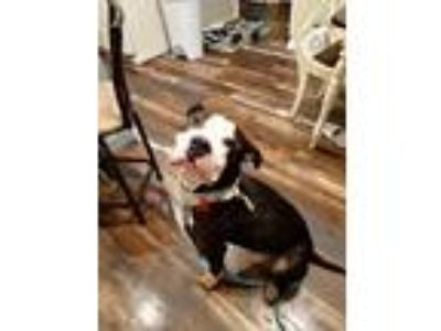 Adopt Domino a Brown/Chocolate - with White American Pit Bull Terrier / Mixed