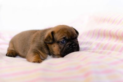 French Bulldog PUPPY FOR SALE ADN-104417 - Beautiful French Bulldog Girl