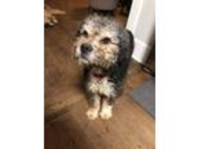 Adopt Cayenne a Tricolor (Tan/Brown & Black & White) Labradoodle / Mixed dog in