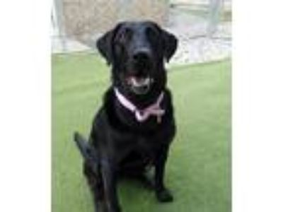 Adopt Midnight #2 a Black Labrador Retriever / Mixed dog in Towson