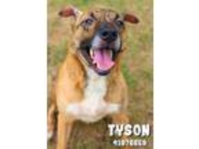 Adopt Griffin a Brindle Terrier (Unknown Type, Small) / Shepherd (Unknown Type)