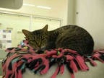Adopt TAMMY a Brown Tabby Domestic Shorthair / Mixed (short coat) cat in Vero