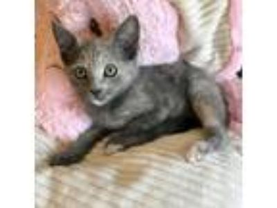 Adopt Nicole a Cream or Ivory Domestic Shorthair / Mixed (short coat) cat in