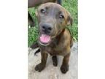 Adopt Okley a Brown/Chocolate - with Black Labrador Retriever / German Shepherd