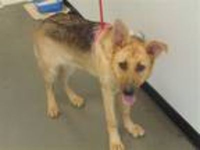 Adopt Pen 114 Meatball a German Shepherd Dog