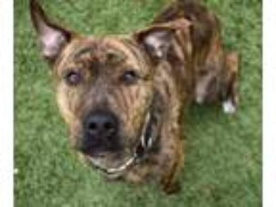 Adopt Bear a Brindle Pit Bull Terrier / Black Mouth Cur / Mixed dog in Little