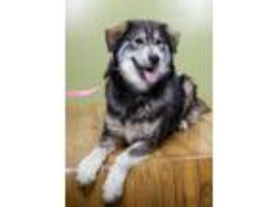 Adopt Lassiter a Husky, Mixed Breed