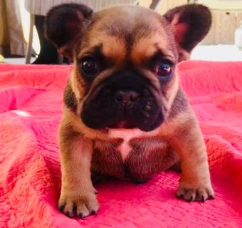 French Bulldog PUPPY FOR SALE ADN-83171 - French bulldog puppies available
