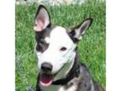 Adopt Half Dome a Black Siberian Husky / Hound (Unknown Type) / Mixed dog in