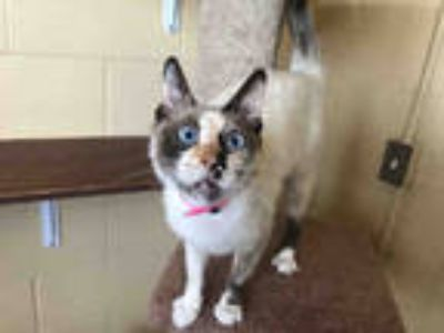 Adopt TASHA a White (Mostly) Siamese / Mixed (short coat) cat in Chula Vista