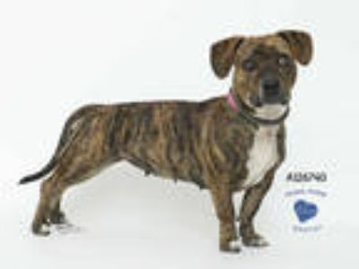 Adopt a Brindle American Pit Bull Terrier / Basset Hound / Mixed dog in Corona