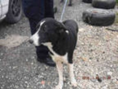 Adopt COWBOY a Black - with White Border Collie / Mixed dog in Doral