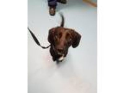 Adopt Frodo a Black - with White Dachshund / Beagle / Mixed dog in Hobart