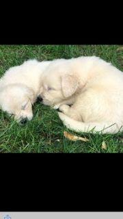 Golden Retriever PUPPY FOR SALE ADN-88457 - English Cream Golden Retriever Puppies