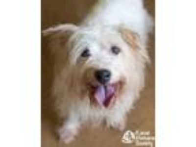 Adopt Boogey a Silky Terrier