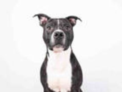 Adopt ADA a Black - with White American Pit Bull Terrier / Mixed dog in Atlanta