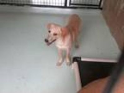 Adopt Amberlyn a Yellow Labrador Retriever