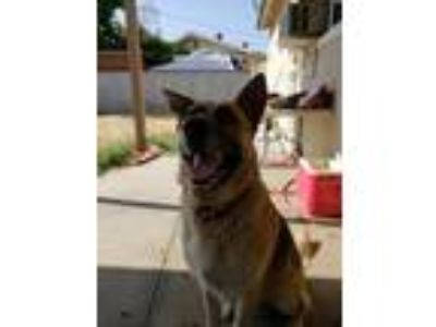 Adopt Rex a Tan/Yellow/Fawn - with Black German Shepherd Dog / German Shepherd