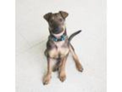 Adopt Amalthea a German Shepherd Dog, Mastiff