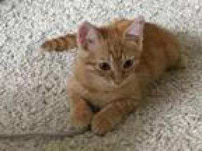 Adopt Dawlish19 a Domestic Shorthair / Mixed (short coat) cat in Youngsville